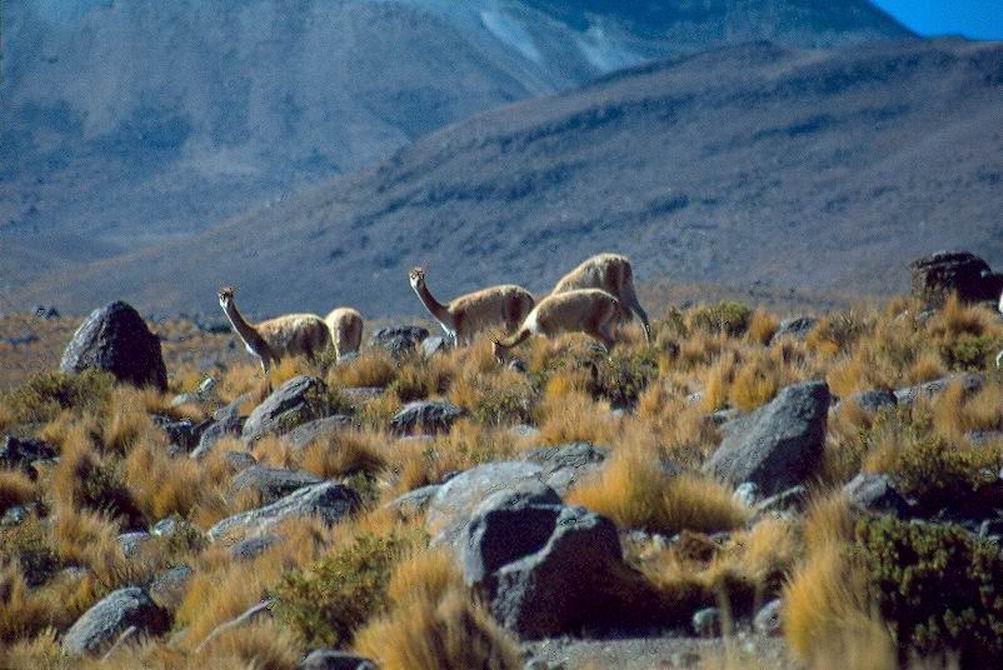 Vigugna selvatiche nella puna boliviana