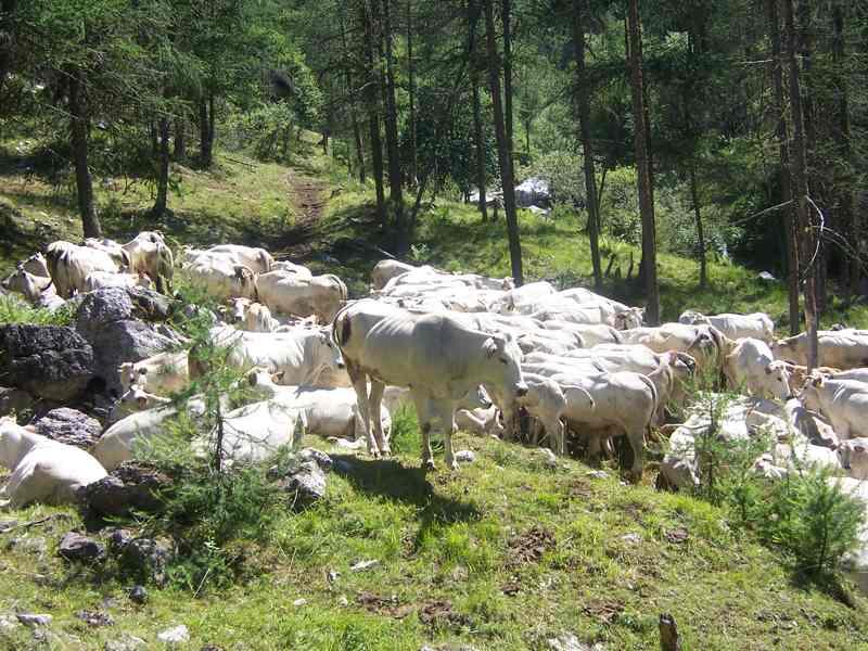 Anche le mucche conoscono il sentiero S6