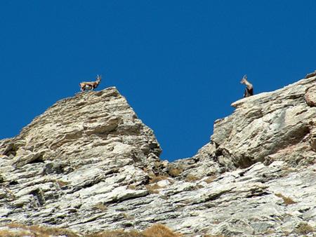 Stambecchi sulla cresta dal Colle Morefreddo a pochi metri dalla vetta