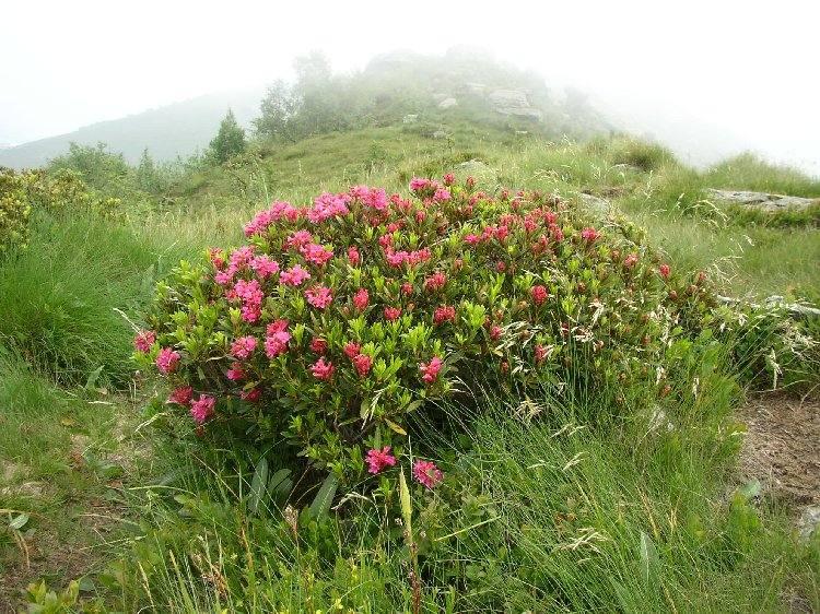 Primi rododendri in fiore sulla via per il Soglio. Nebbia sullo sfondo.