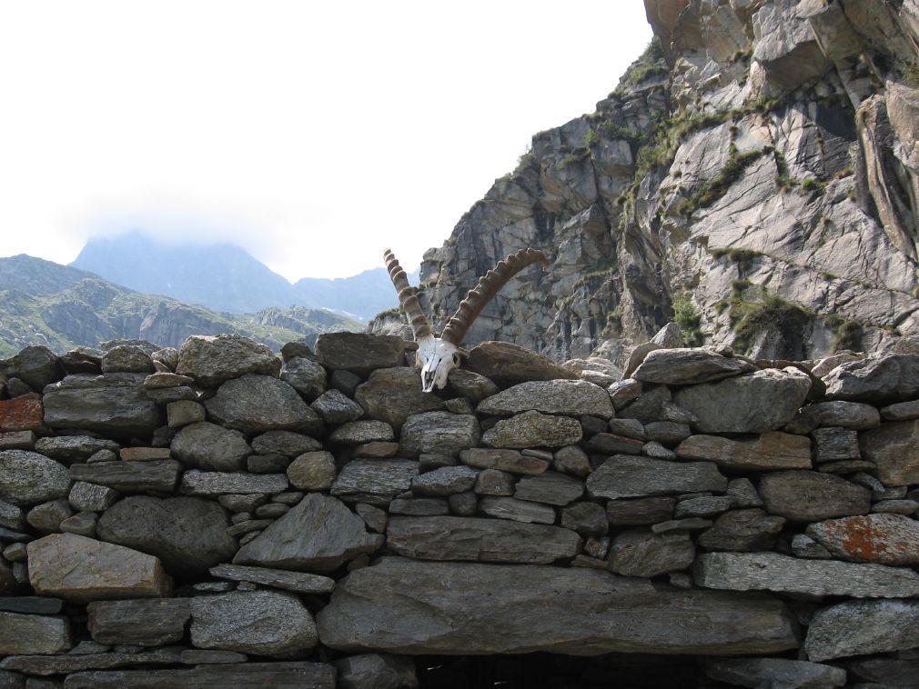 Il bel trofeo di stambecco adulto, sul muro della baita la Truna