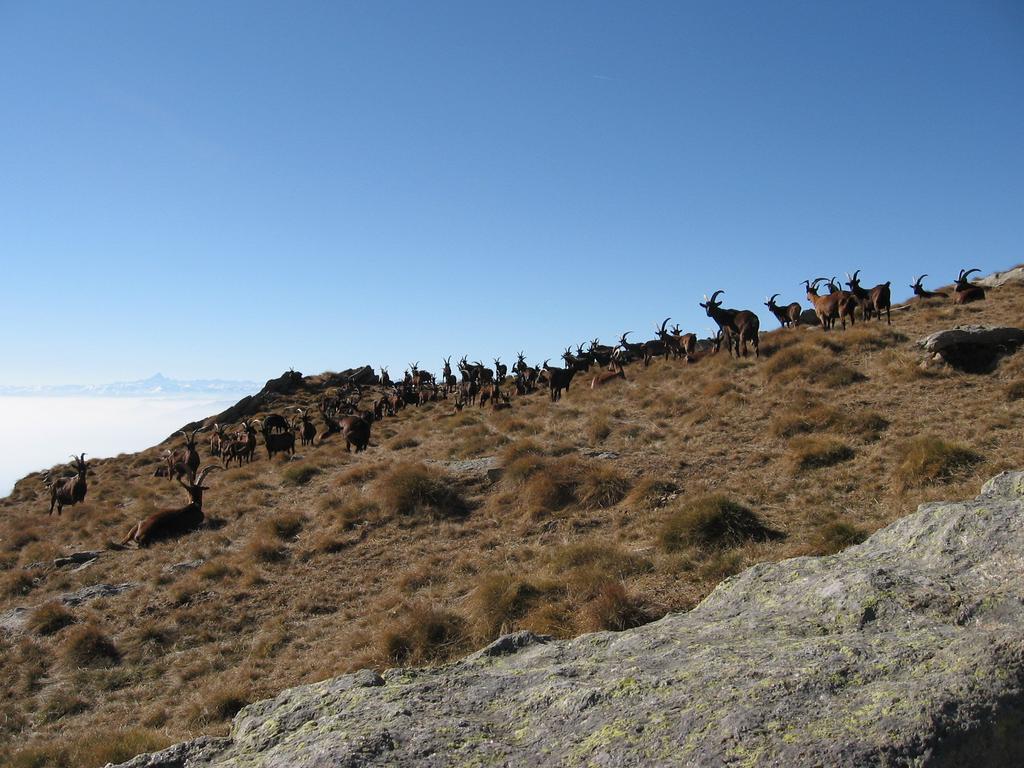 Un bel gregge di capre al Col Naverano