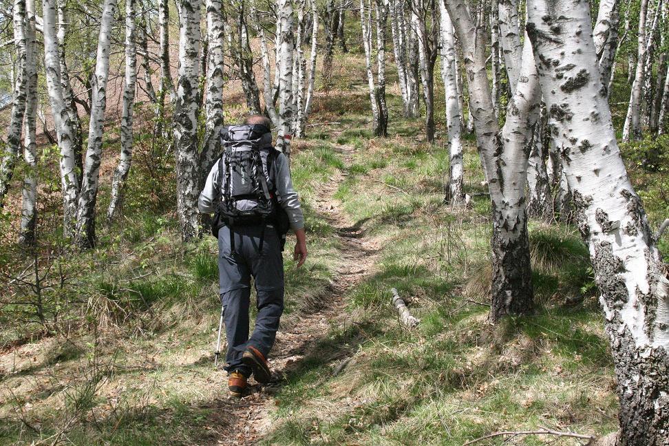 bosco di betulle lungo la salita