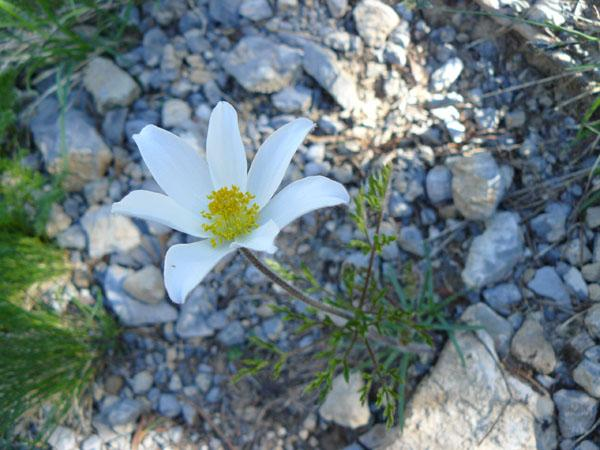 uno splendido anemone