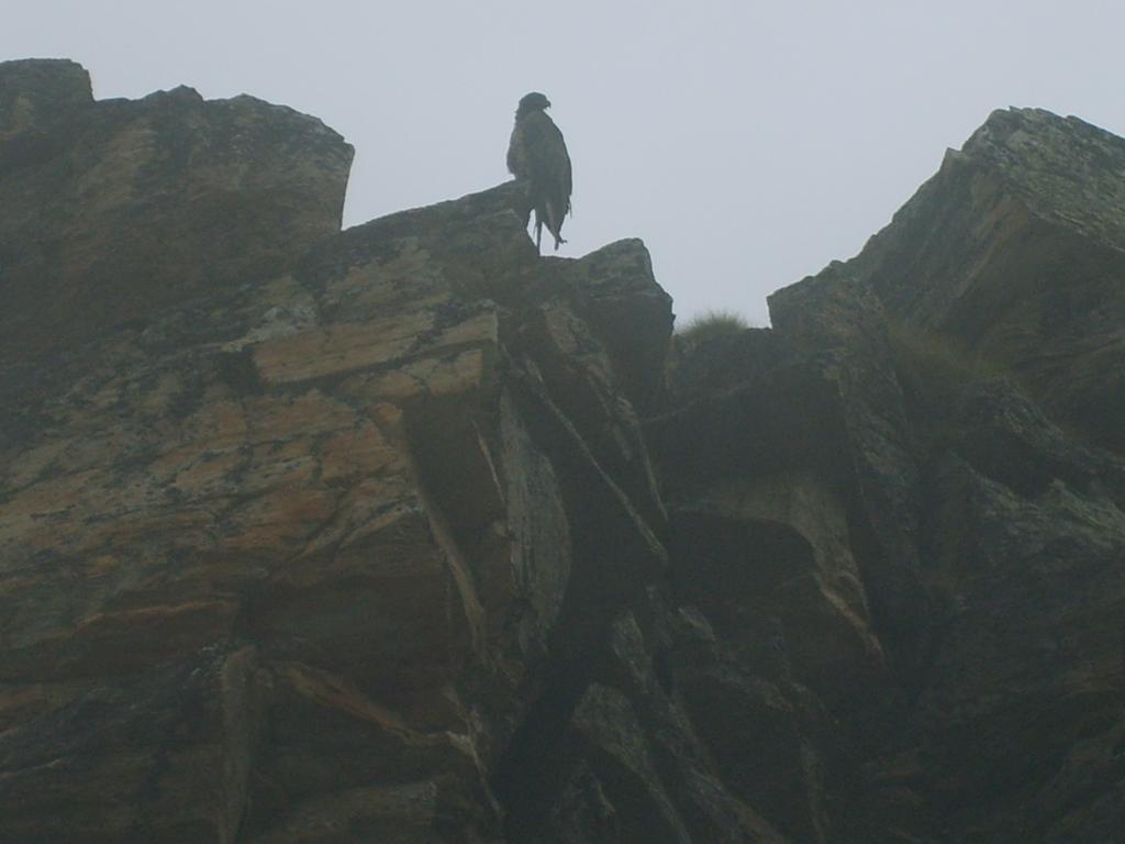 Aquila appollaiata su una roccia nei pressi del lago Agnel.