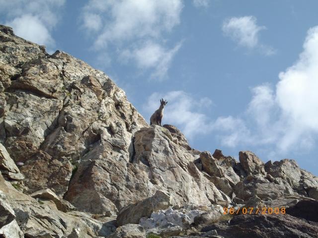 uno stambecco ci da il benvenuto sulla cima Paganini
