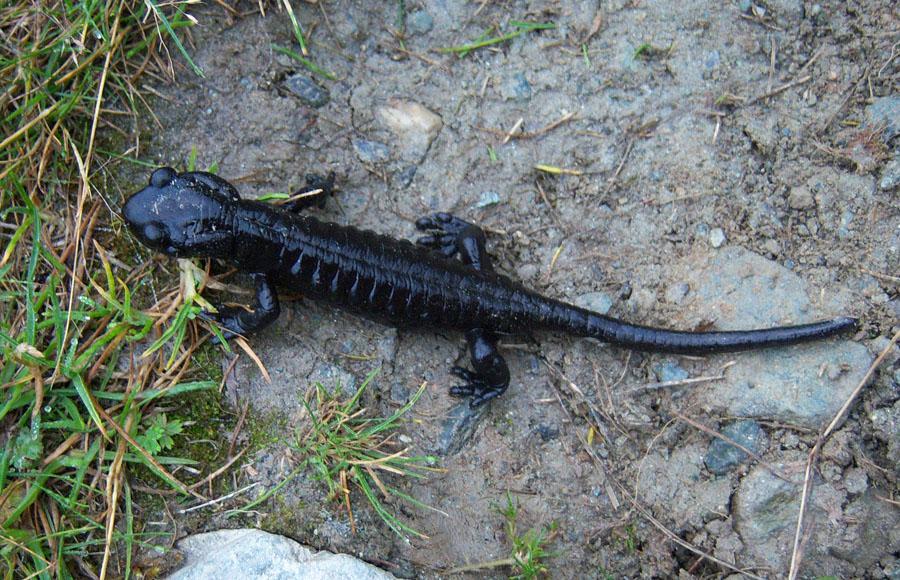 Una salamandra nera al Pian del Re