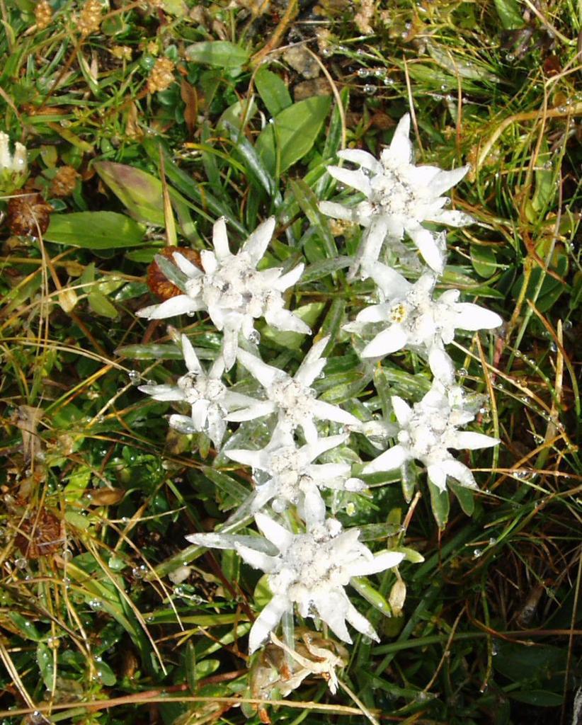 stelle alpine ancora gelate dal freddo della notte