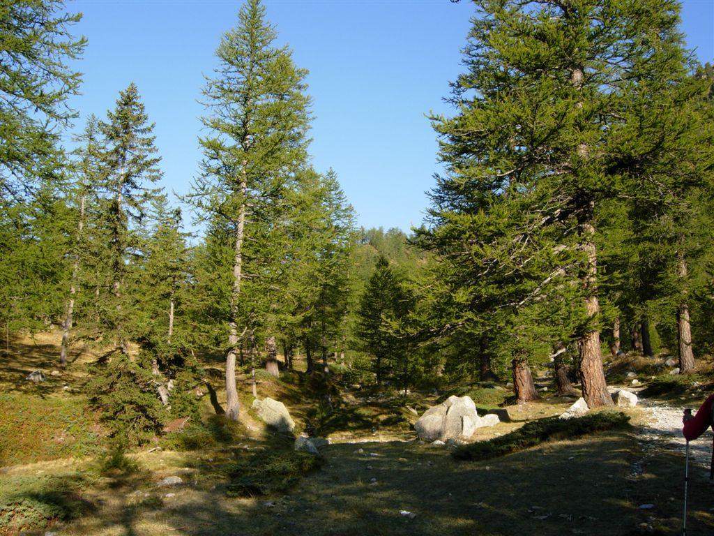 Il bosco di conifere all'inizio dell'itinerario