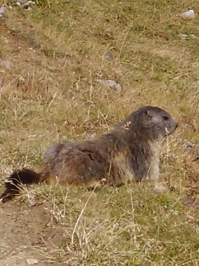 marmottina