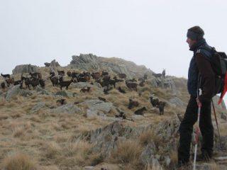 Un gregge di capre incontrate sulla cresta est di discesa