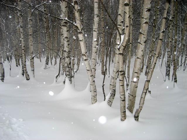 Betulle sotto la neve