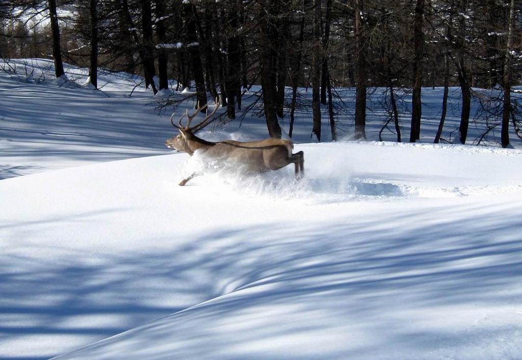 il cervo maschio