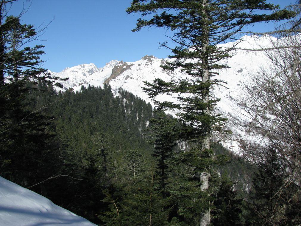 L'abetaia di Ribordone vista dai pressi della Cima Tirolo