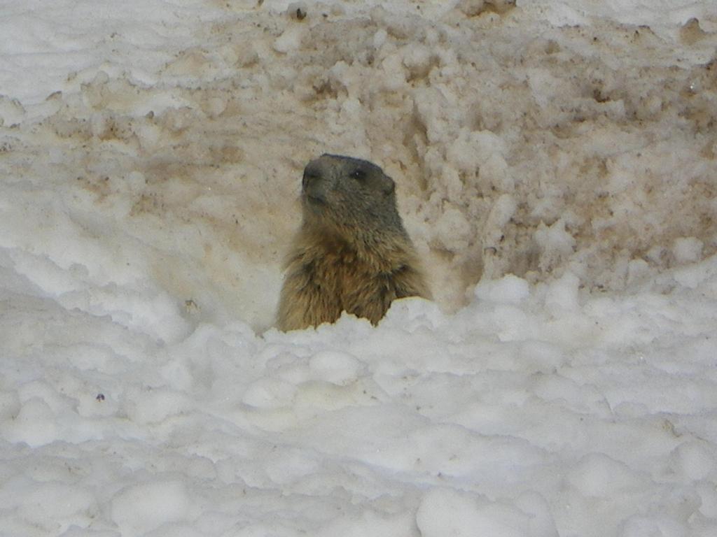 Una marmotta curiosa scendendo verso Saas Fee