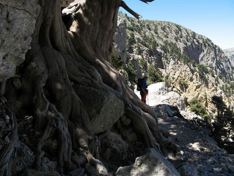 Antico cedro lungo il percorso