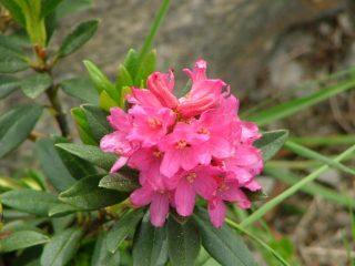 fioritura di rododendro