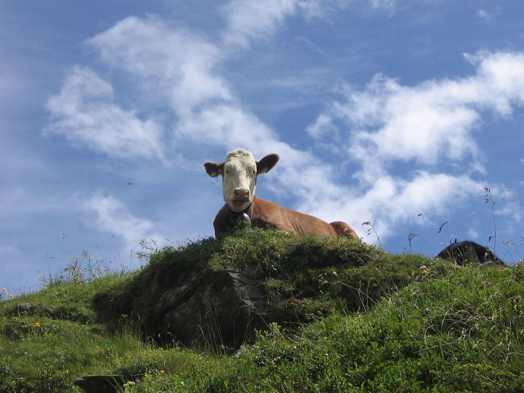 Mucca curiosa ci osserva durante la salita al rifugio