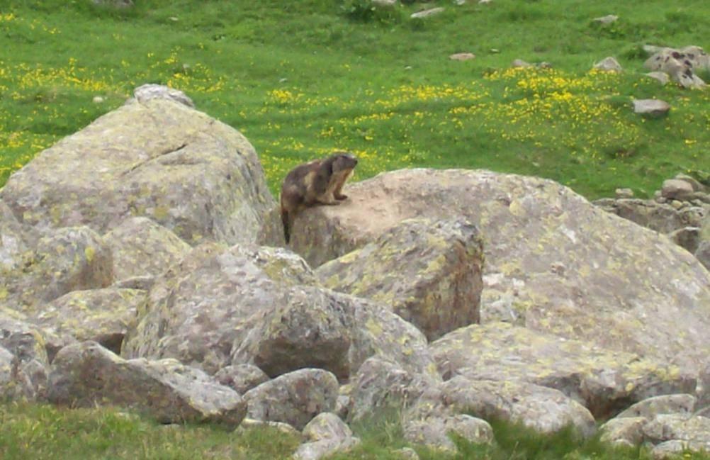 Marmotta Muandese