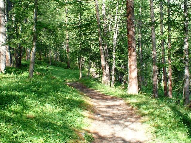 La prima parte dell'itinerario si svolge nella pineta