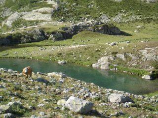 Lago del Vei del Bouc e mucca curiosa
