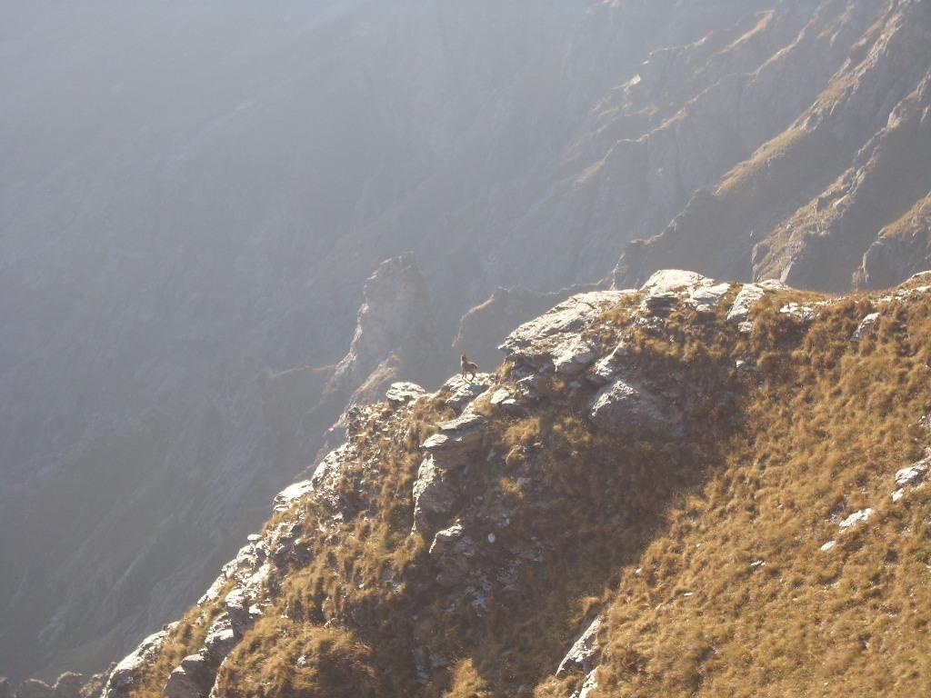 03 - Piccolo di camoscio sui pendii del Toasso Bianco