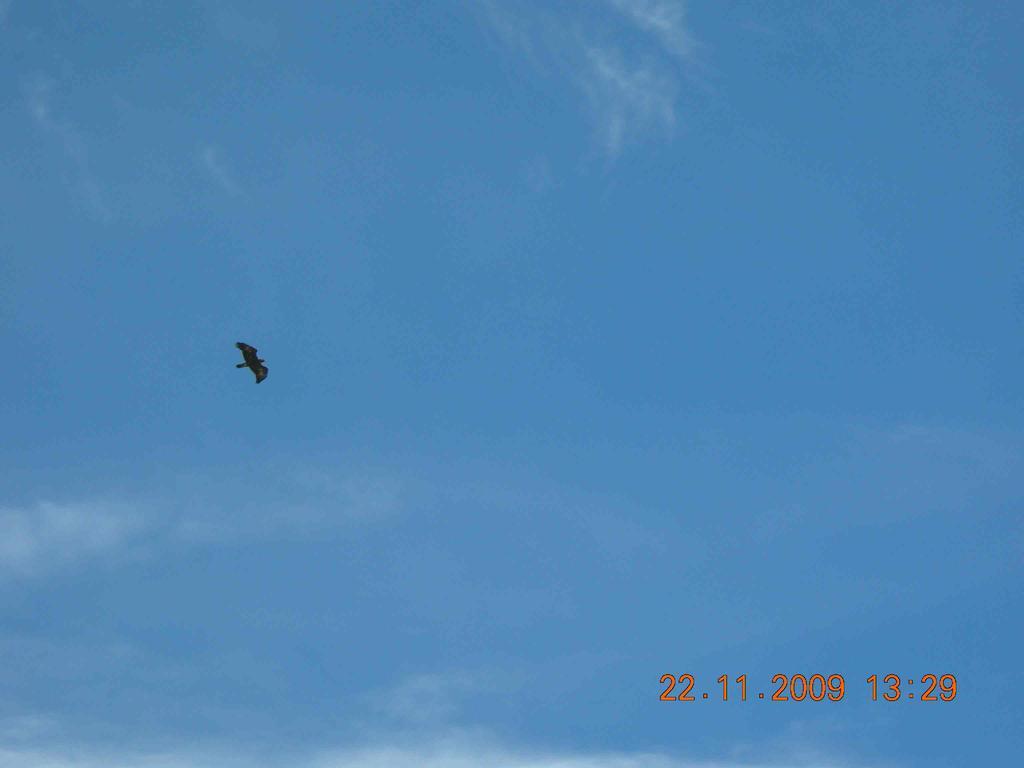 Aquila comune (forse)