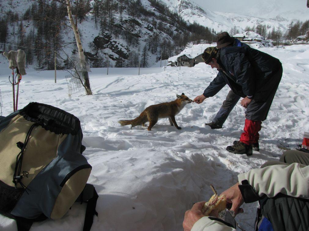 Pausa pranzo: volpe affamata che prende cibo direttamente dalle mani di Massimo