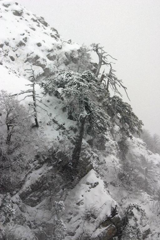 Pini loricati nella tormenta sulla parete sud di Serra del Prete