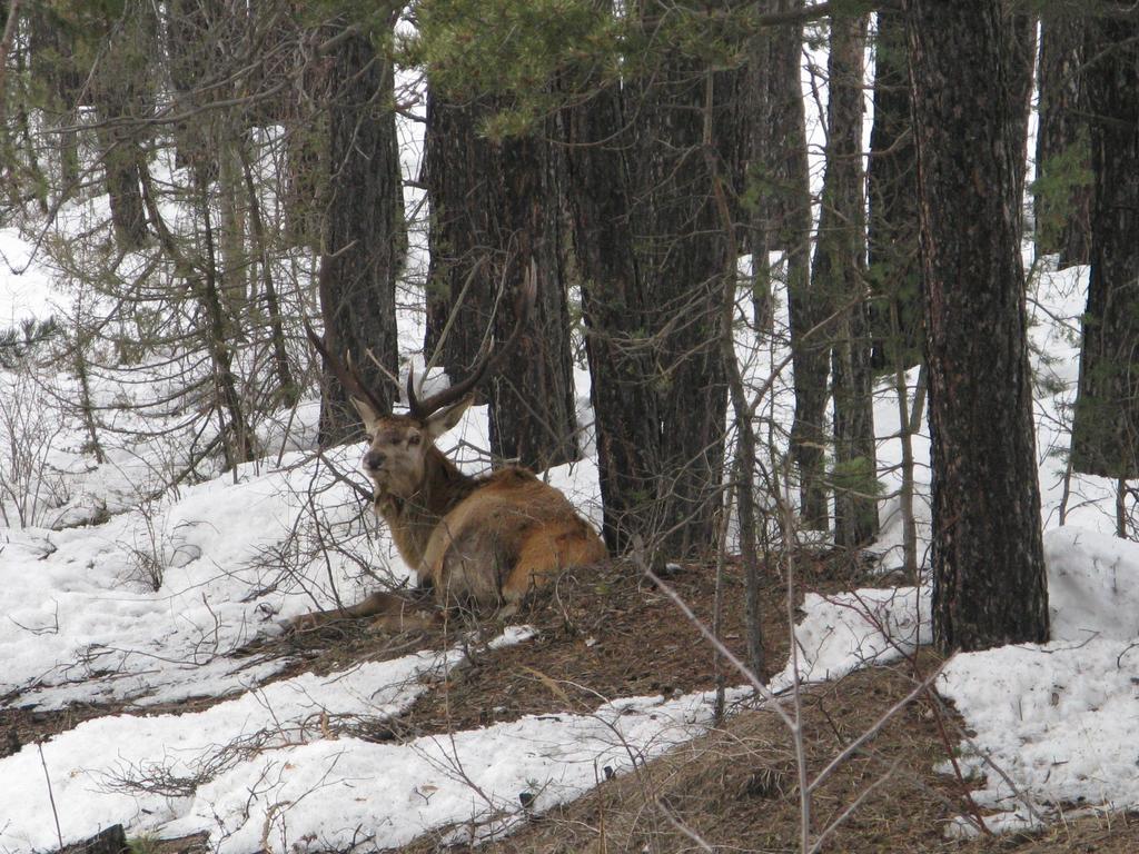 un cervo a Chateau