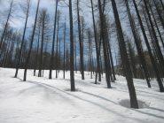Il bosco sotto la Rocca Rossa che si intravede tra i larici in alto a dx.