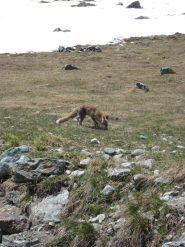 una volpe praticamente addomesticata
