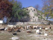 Le capre dell'Abbazia