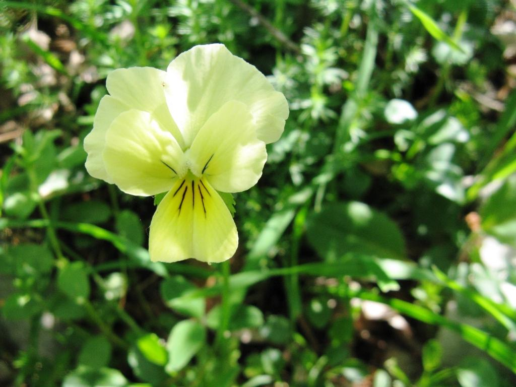 Viola di Eugenia