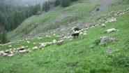 gregge al pascolo nei dintorni della Cabane de Tramouillon (19-6-2010)
