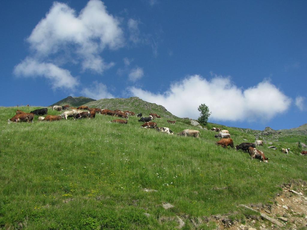 Mucche al pascolo nei pressi di cà Bianca