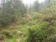 01 - rododendri salendo a Pian dell'Orso