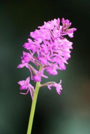 Orchidea selvatica, gen. Anacamptys