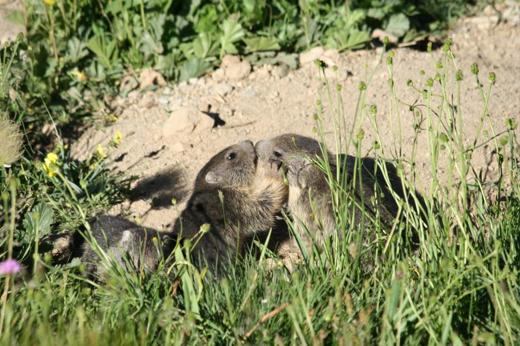 Cuccioli di marmotta