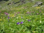 Splendida fioritura verso il colle di Saint Veran.