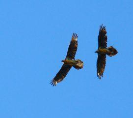 Gipeti volo in coppia