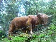 Un incontro inaspettato: un bovino di razza scozzese scendendo verso Briga