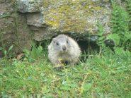 piccolo di marmotta