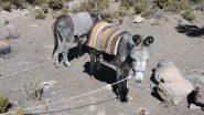 asinello in attesa del suo carico per salire verso il Campo Base (19-8-2010)