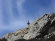 camoscio sulla via di roccia
