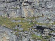 Mucche alpiniste