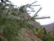 Gocce d'acqua su di un pino