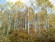 02 - betulle in autunno