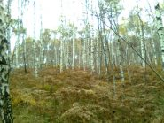 06 - bei boschi di betulle