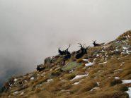 un gruppo di capre
